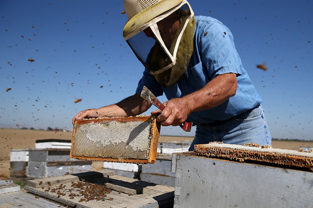 Gene Brandi inspects a bee hive Sept. 5, 2014 in Los Banos, California.