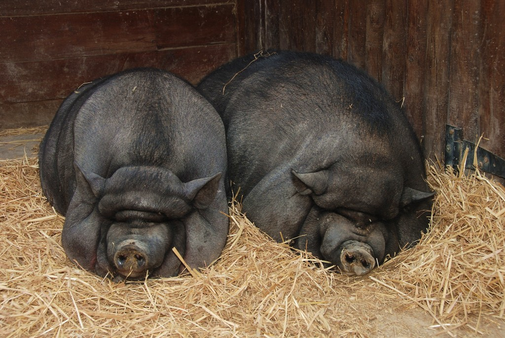 Can pot-bellied pigs recognize themselves in a mirror? One listener wanted to know.