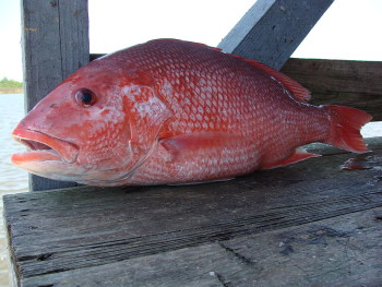 1024px-Red_Snapper