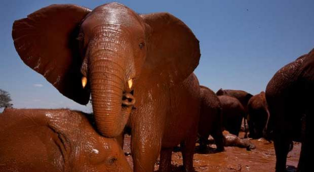 The new ivory rules ban the commercial import of African elephant ivory.