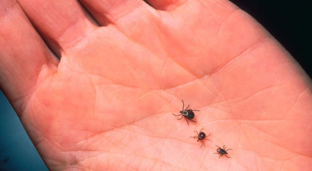 A close-up of an adult female deer tick, dog tick and a Lone Star tick are shown on the palm of hand. Ticks cause an acute inflammatory disease characterized by skin changes, joint inflammation and flu-like symptoms called Lyme Disease.