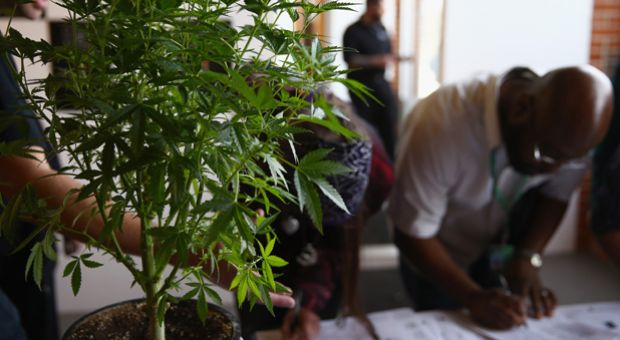 A cannabis plant greets job seekers as they sign in at CannaSearch, Colorado's first cannabis job fair, on March 13, 2014 in Denver, Colorado. O.PenVAPE, the largest national brand in cannabis, held the first of it's kind Cannabis Job Fair hoping to match applicants with businesses in the Colorado marijuana industry.