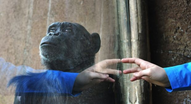 A chimpanzee stands behind the window of his cage as a person knocks at the window on March 28, 2014 at the Bioparco of Rome.