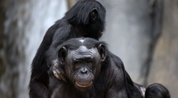 Bonobo mother and child