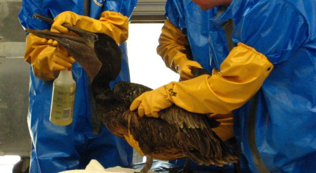 Workers at the Fort Jackson, Louisiana International Bird Rescue Research Center attempt to clean a Pelican.