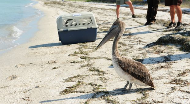 A Brown Pelican prepares to enter the water at the Egmont Key National Wildlife Refuge near St. Petersburg, Florida on May 23, 2010. The bird was rescued and cleaned by U.S. Fish and Wildlife Service after being found oiled near Louisiana's coast.