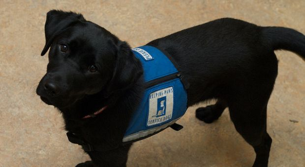 """Helping Paws"" service dog Libby"