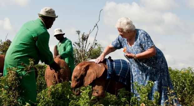 As shown in the IMAX® film Born to be Wild 3D, Dr. Dame Daphne Sheldrick applies sunscreen to the young elephants to protect their sensitive ears from the sun. Photo copyright ©2011 Warner Bros. Entertainment Inc